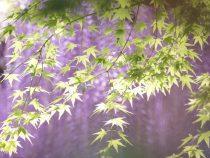 平等院の藤の花がキレイです♡