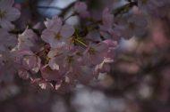 桜咲く~🌸